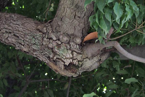 目のある木の枝2
