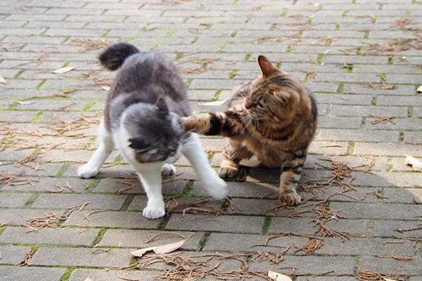 猫パンチをお見舞いするクラタン姉さん