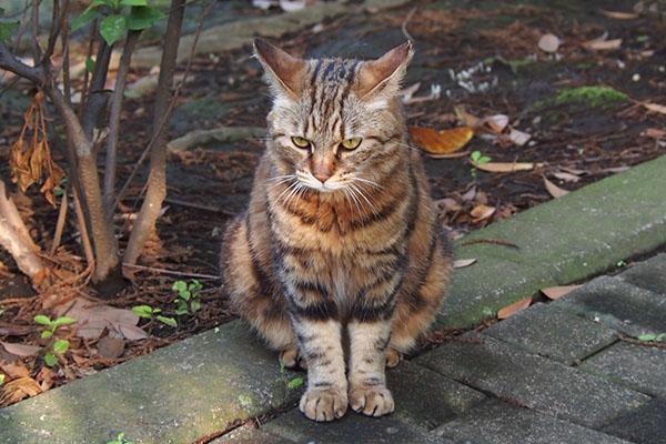 jet ear cat Kuratan