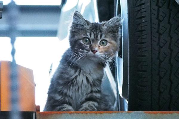 長毛の三毛猫ちゃんらしい 仔猫