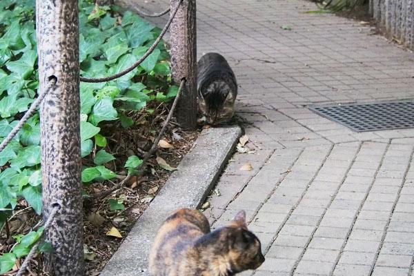 背後より大きな顔の猫 トッキー