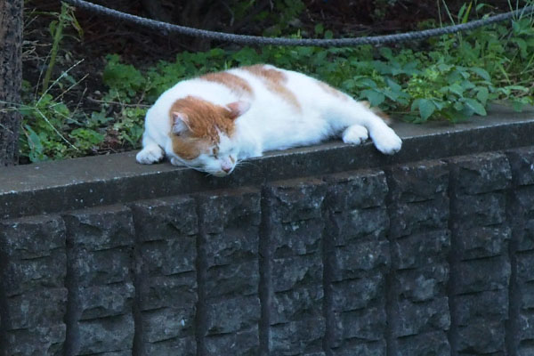 sleeping cat Pudding