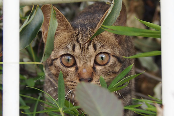 Tabby kitten with amber eyes