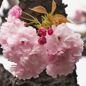 flower kind of Sakura