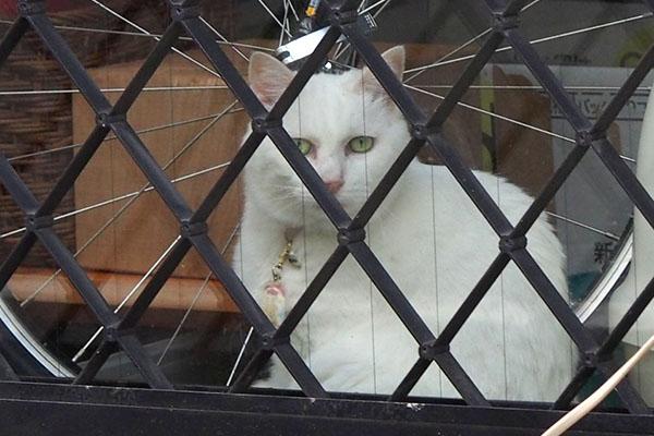 カメラを見る家の中の白猫さん