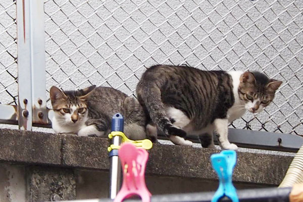 塀に避難したさくら 仔猫いた