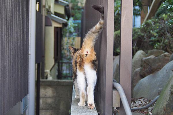 オトワちゃん 塀を歩くお尻