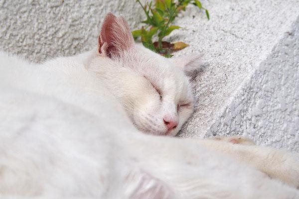 チロルの寝顔 ミドル