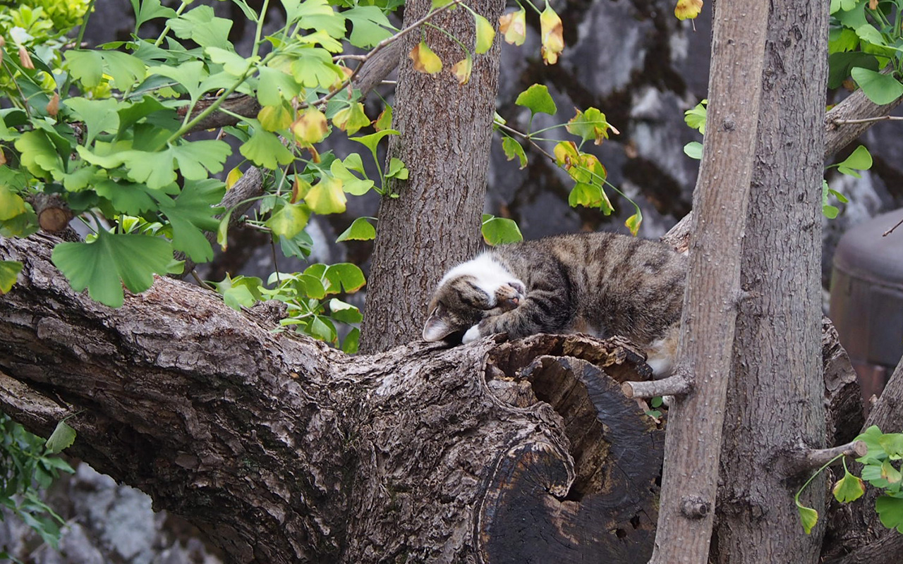 Shizuku sleep well on Ginkgo tree