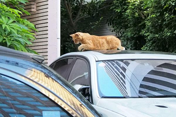 車の上に横たわる チャーちゃん