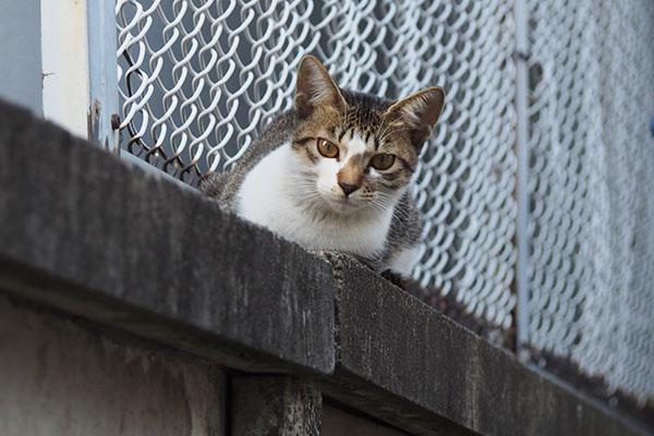 美猫の コーちゃん
