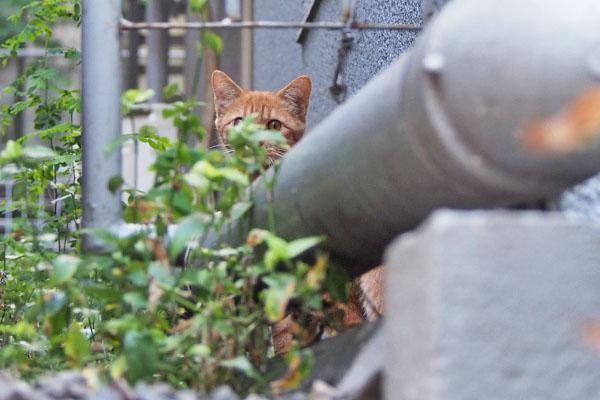 茶トラ仔猫 発見