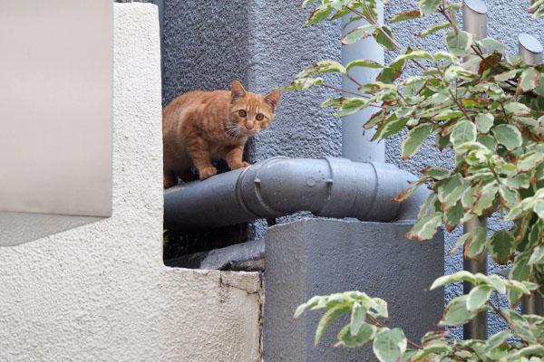 離れたみたら 出て来た 茶トラ仔猫