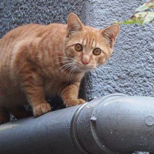 ginger kitten at Canada