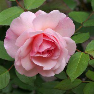 flower rose many petal pink