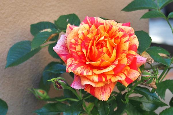 rose red and orange stripe