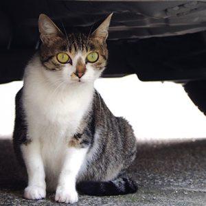 Pregnant cat has cute bitg eyes
