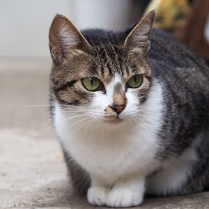 mother cat sakura