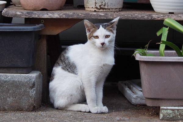 猫らしいポーズのコチュ