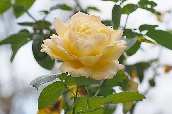 flower rose yellow pink final