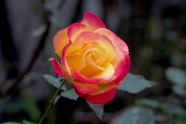 flower rose pink gradation