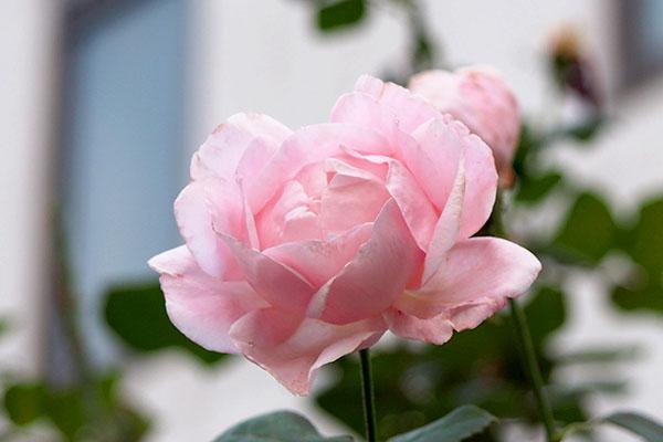 flower pink rose ending