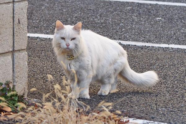 こちらを見る 白猫さん