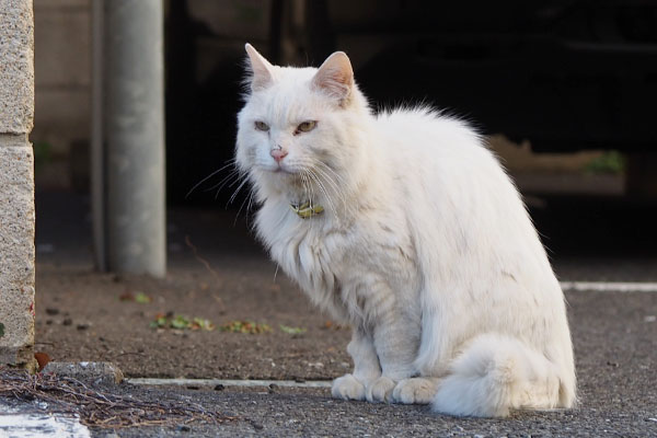 お座りする 白猫さん
