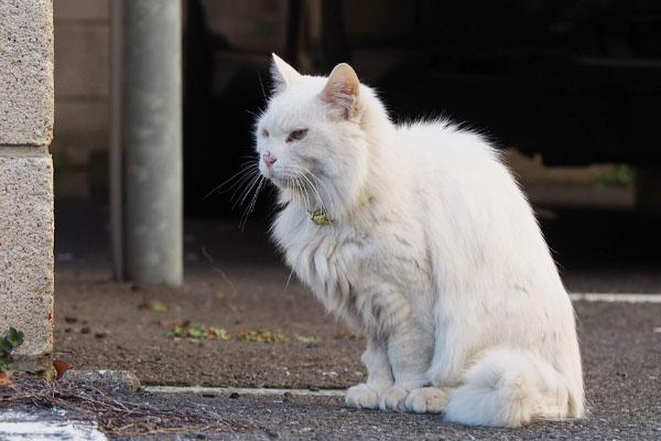 遠くを見る 白猫さん