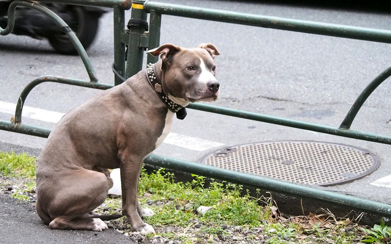 pitbull waiting owner
