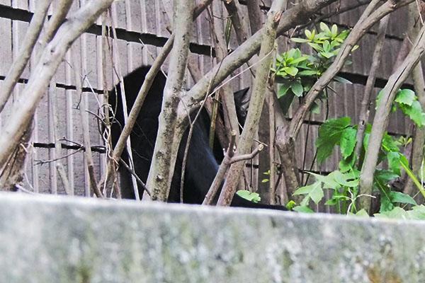 壁と木の間に入るアカシ