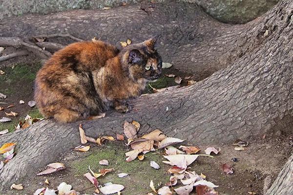 木の根っこの上でお尻を雫の方へクロテ