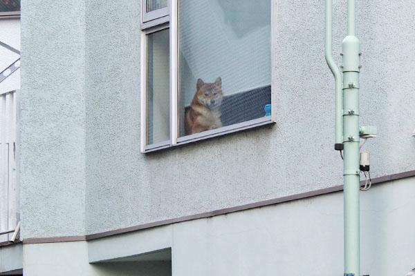 窓から見ている柴犬さん