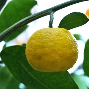 yuzu flower yellow fruit