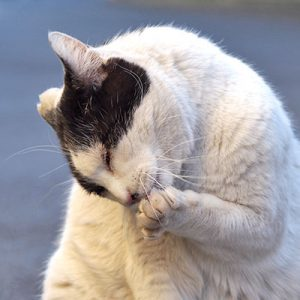 bou lick his paw