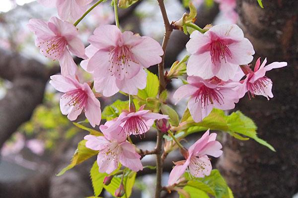 flower pink temple sakura peach