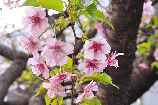 flower sakura pink