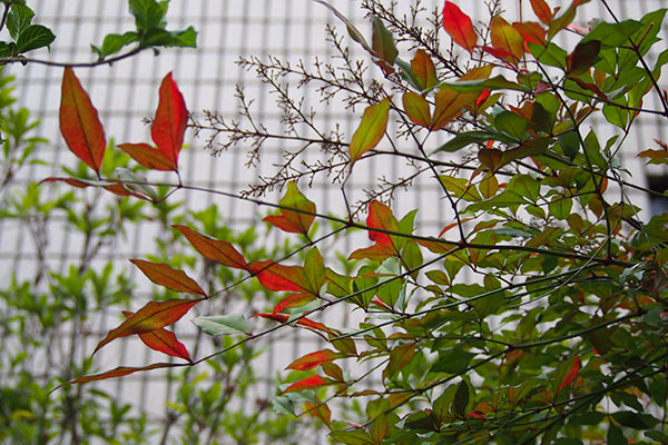 flower red leaves changed color