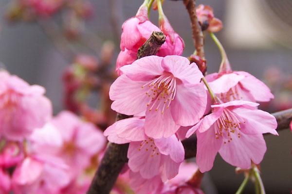 flower pink sakura