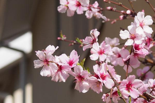 flower peach pink