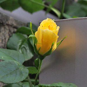 flower rose yellow bud