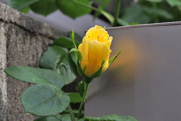 flower rose yellow bud