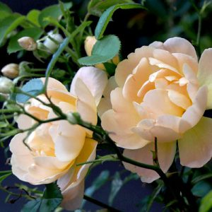 flower pale pink rose two