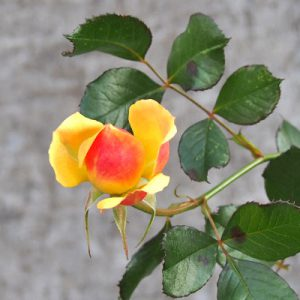 flower rose orange yellow