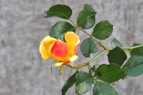 flower rose orange yellow