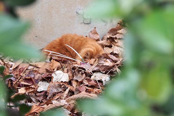 枯れ葉に顔を埋める コルレ
