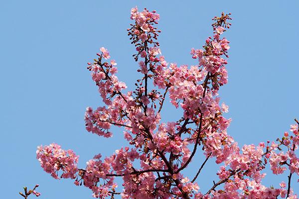 flower pink sakura momo sky