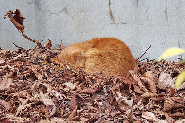 道路の向こうにコルレが寝ていた