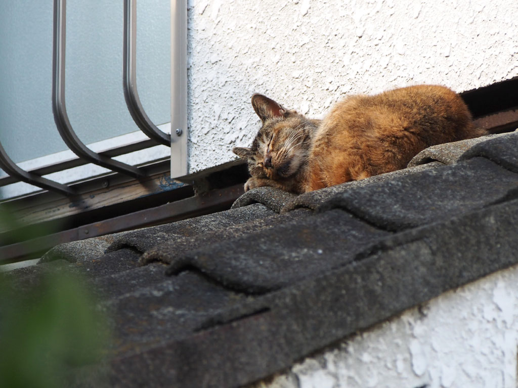 Ruru takes a nap on the roof
