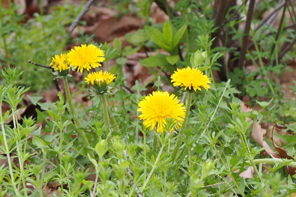 flower yellow dandelion 4